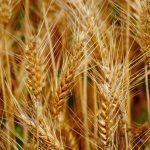 Blé, Récolte, Tara, Citation, Dicton, Divertissement, Enfant, Famille,