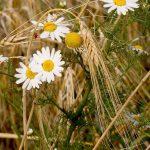 Enfant, Juillet, Catation, Dicton, Tara, récolte, fleurs, champs, Blé, Eté, Blé,